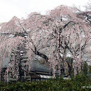 中院(枝垂れ桜)