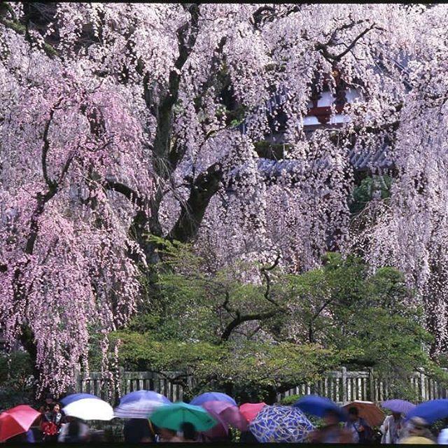 身延山久遠寺(しだれ桜)