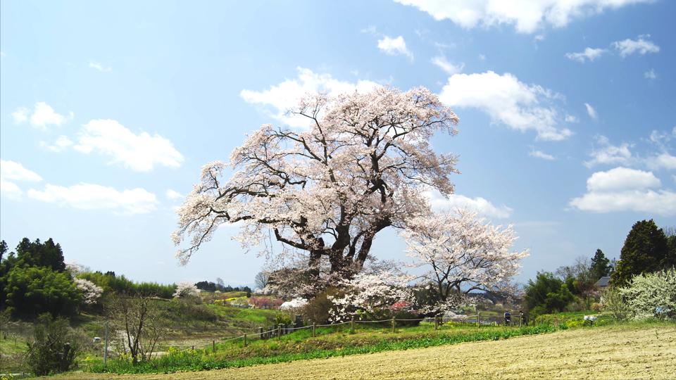 E083_C011_塩ノ崎の大桜-Thumbnails.jpg