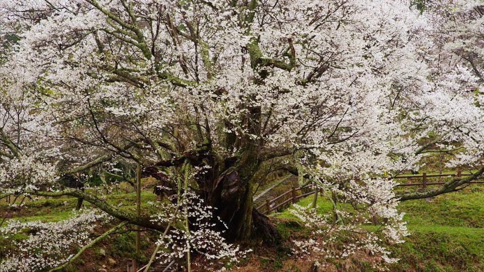 K437_C013_千年桜-Thumbnails.jpg