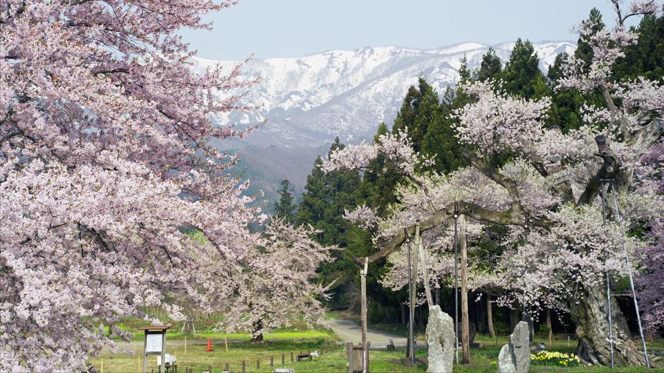 sato_E120_C006_釜の越桜-Thumbnails.jpg