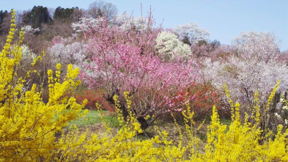 sato_fukushima_hanamiyama_J724_C002-Thumbnails.jpg